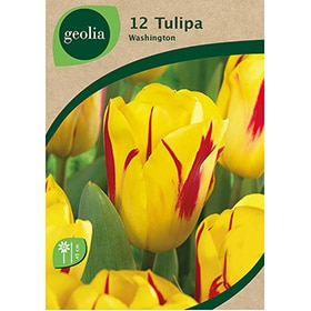 Bulbos de tulipán Geolia Washington
