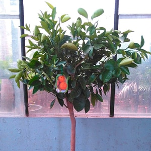 Semillas rboles plantas y flores leroy merlin for Imagenes de arboles ornamentales