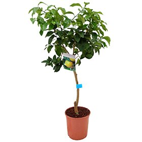 árboles Frutales Leroy Merlin