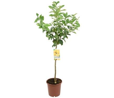 Limonero limonero ref 16079742 leroy merlin for Plantas decorativas en leroy merlin