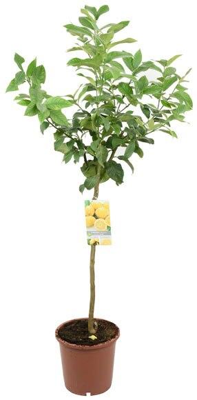 Limonero limonero ref 16079742 leroy merlin for Flores artificiales leroy merlin