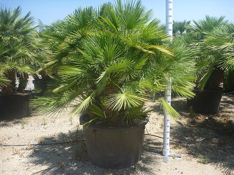 Palmito palmera enana 15 a os ref 17872211 leroy merlin - Palmeras de plastico ...