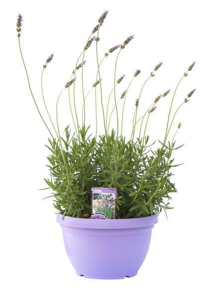 Lavanda ref 16939195 leroy merlin for Plantas decorativas en leroy merlin
