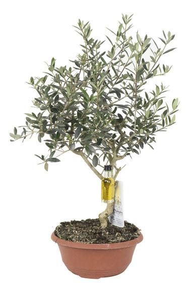 Abono para olivos en macetas casa dise o - Olivo en maceta ...